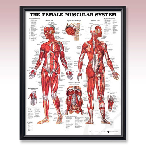 female muscular system poster — myanatomystore, Muscles