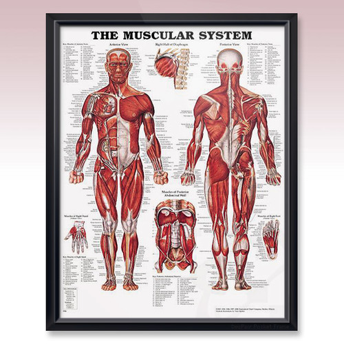 Muscular System Posters Muscular System Poster