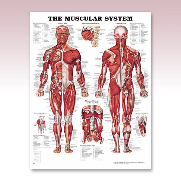 muscle-sys-male.jpg