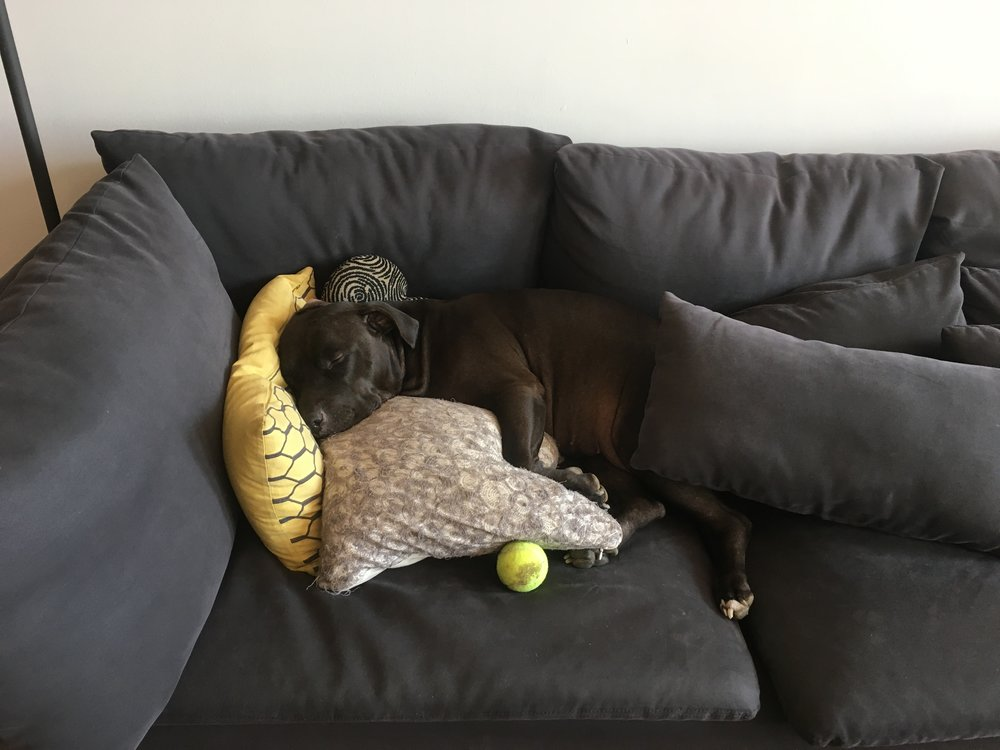 "Zonked out pup arranged ""her"" pillows just so for nap time on the couch. With ball."