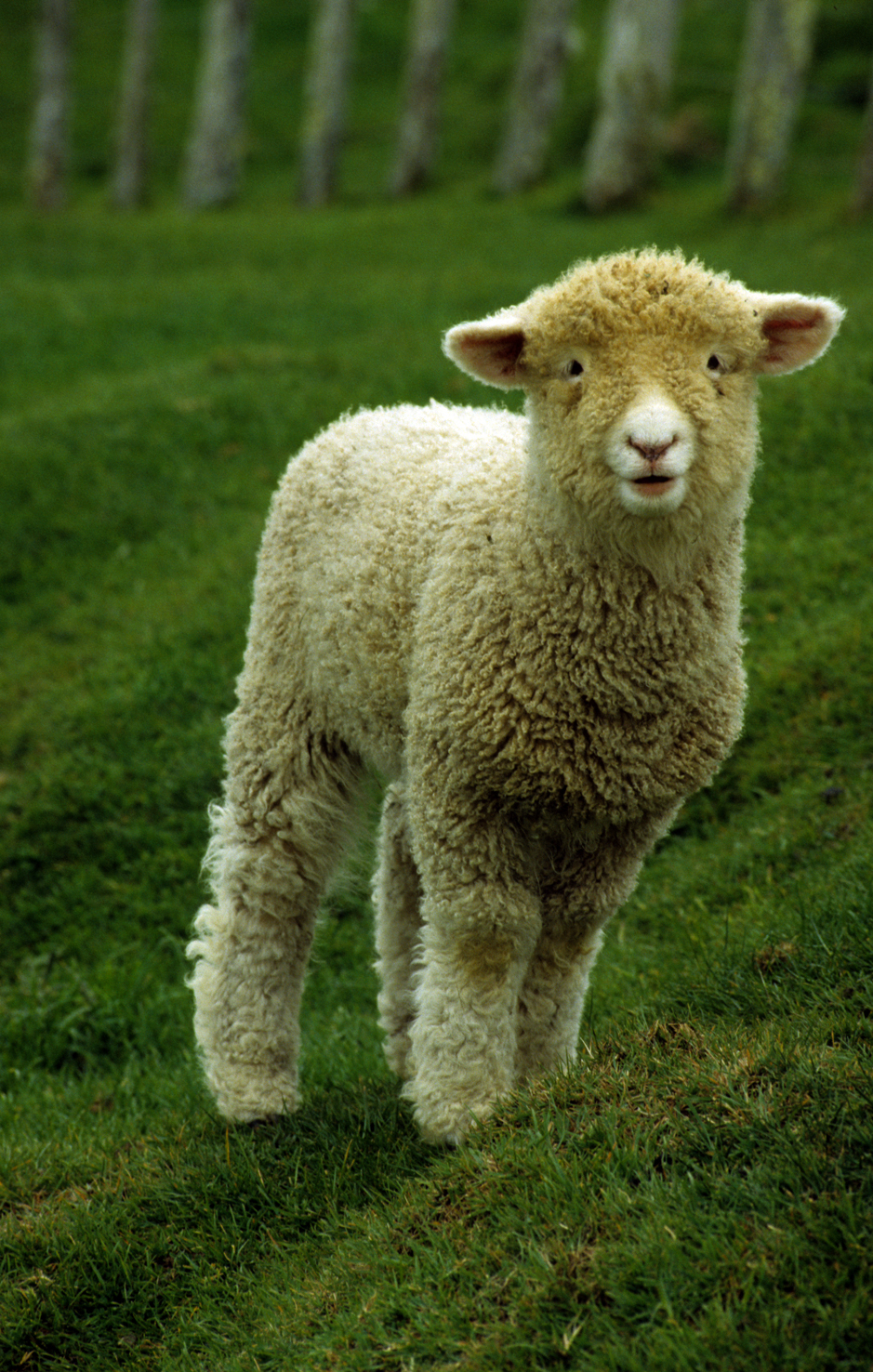 lamb_port.jpg