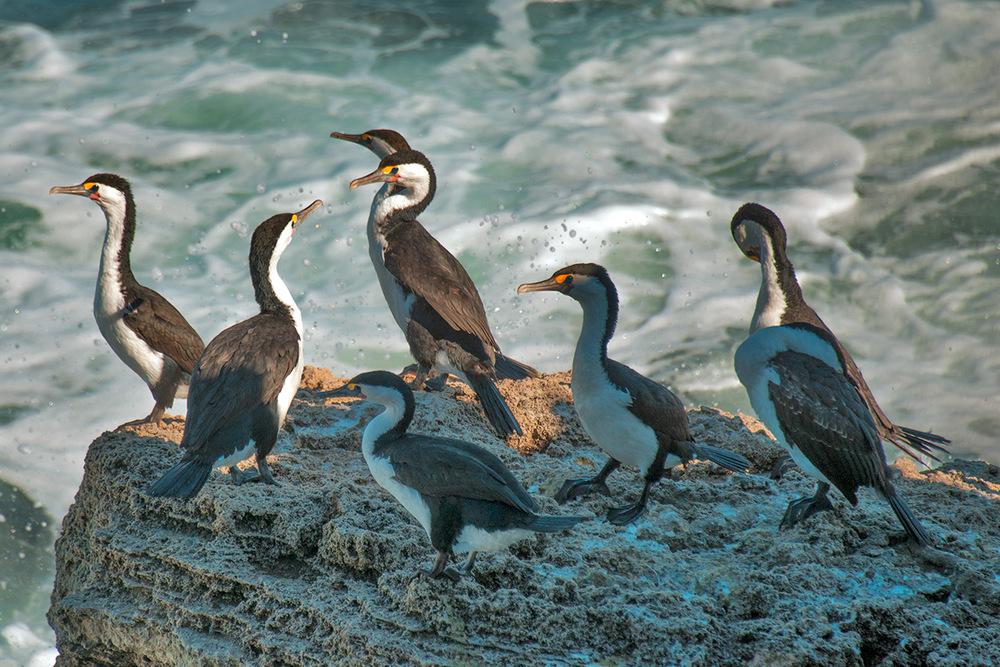 cormorants_splash.jpg