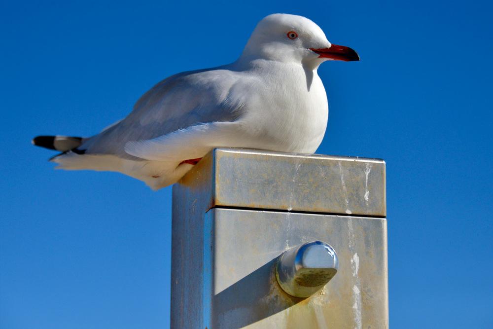 seagull_closeup_cott.jpg