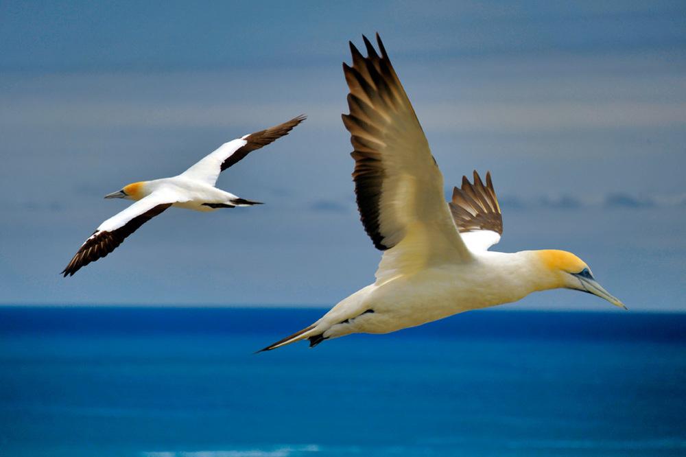 gannets_a.jpg