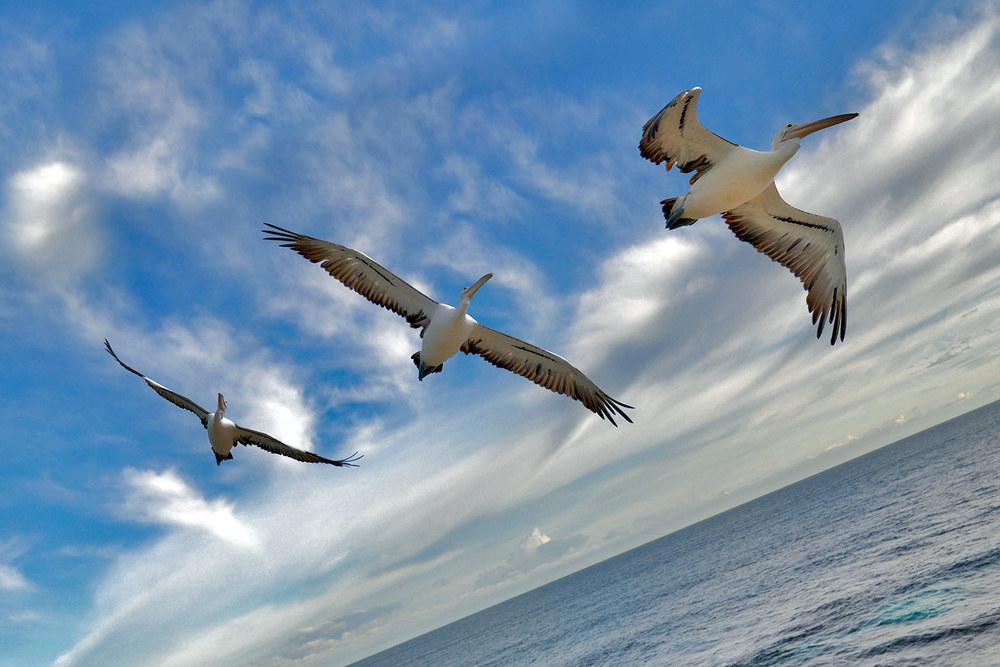 pelican_formation.jpg