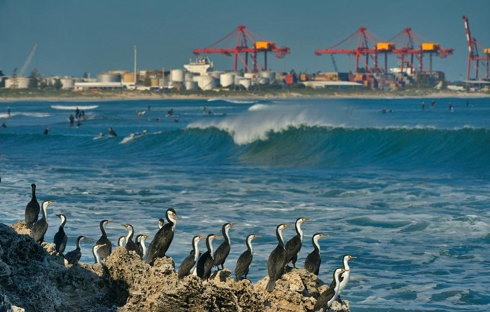 Cormorants at The Cove, with  Leighton Beach and Fremantle port facilities in the background
