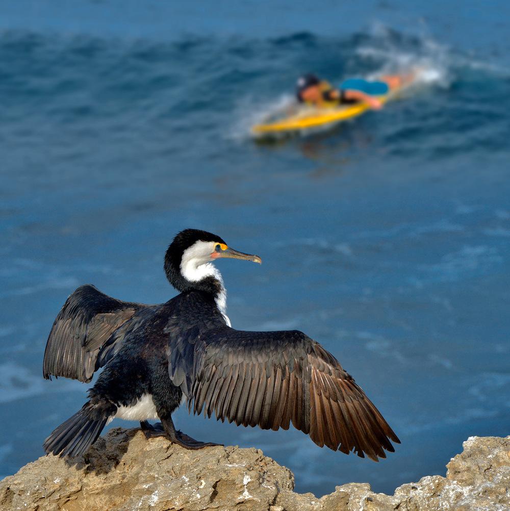 cormorant_surfer_b.jpg