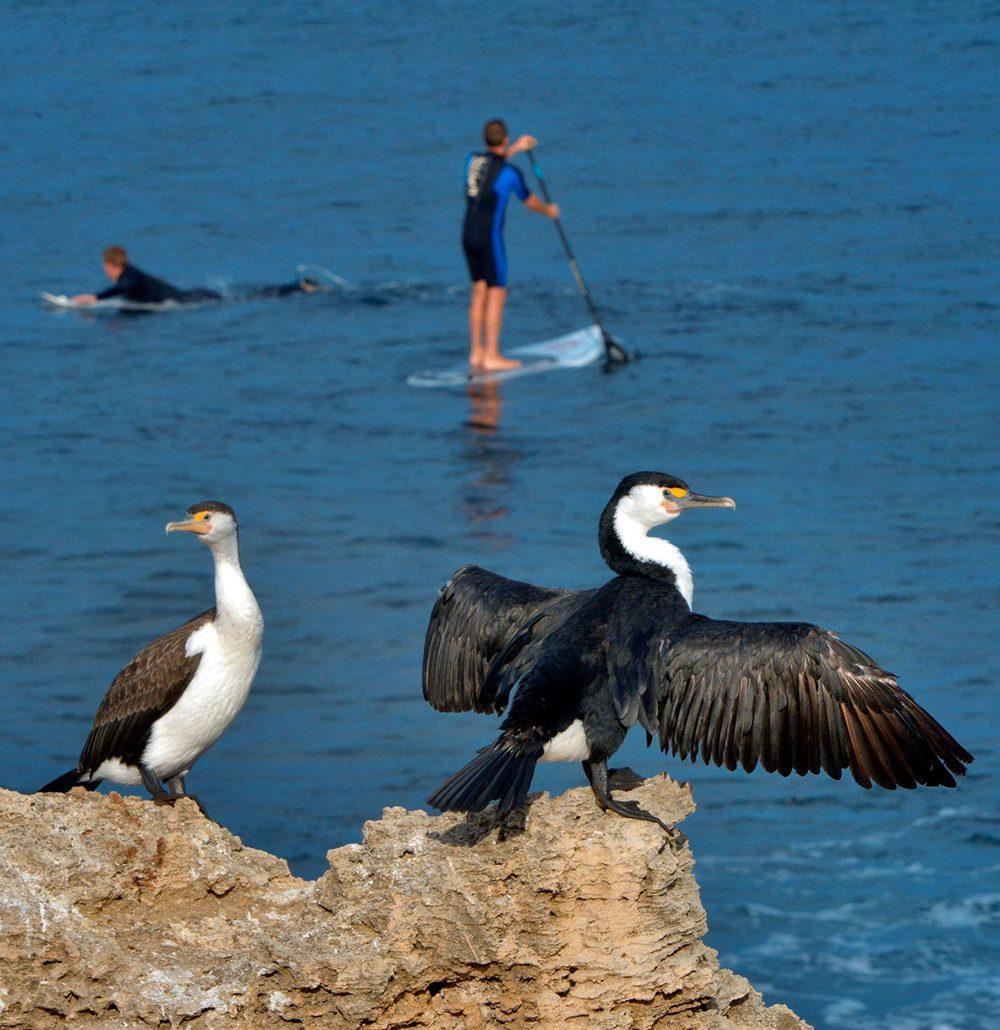 cormorants_standup_surfers.jpg