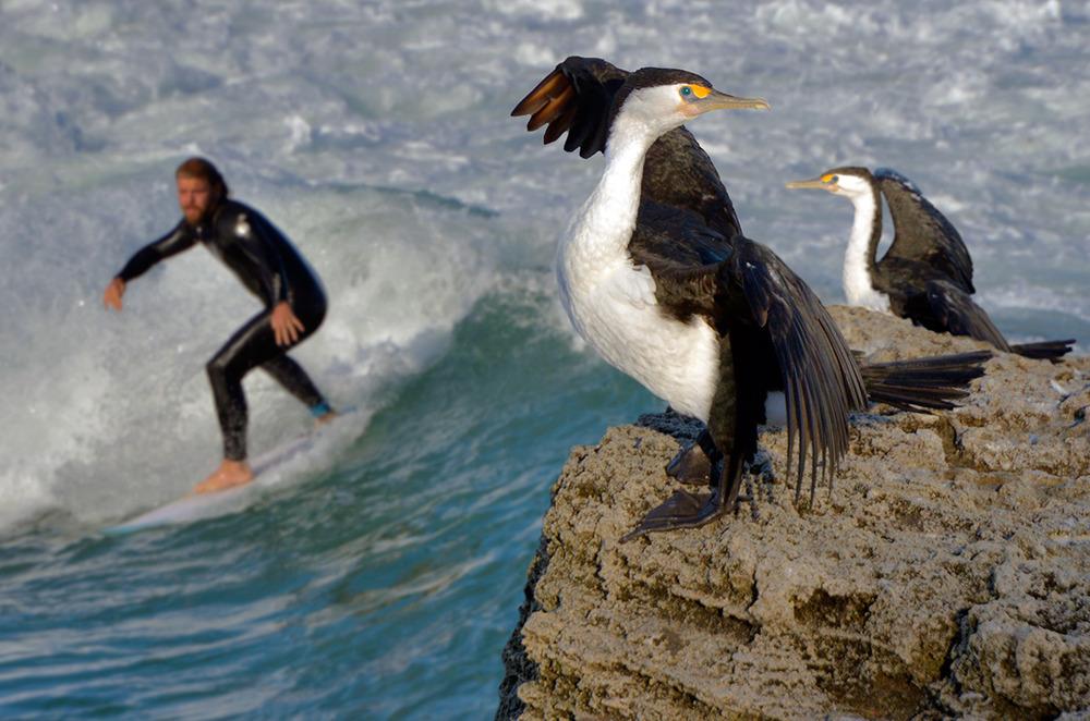cormorants_surfer_close.jpg