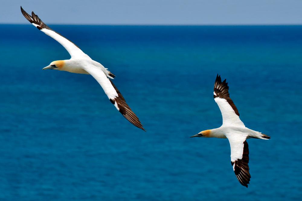 gannets_b.jpg