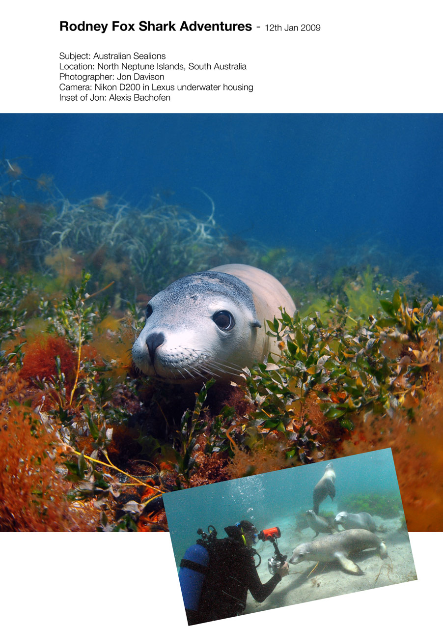 Australian Sea Lion, Neptune Islands, Aust