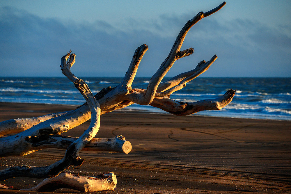 Driftwood (tree) on Castlecliffe Beach, Whanganui