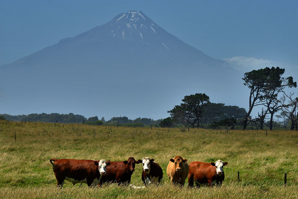 Cattle and Mt Taranaki, New Zealand