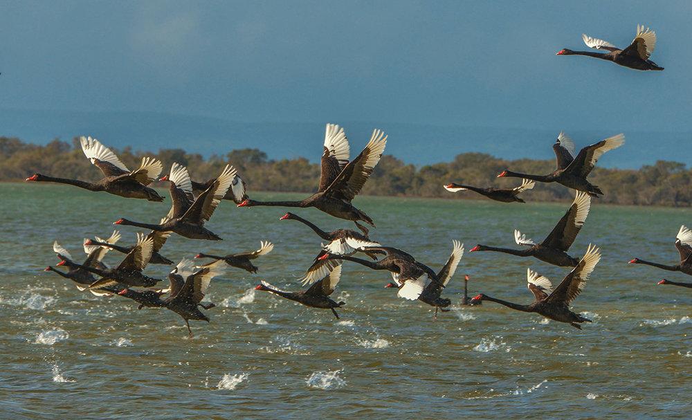 swans_fleet_b.jpg