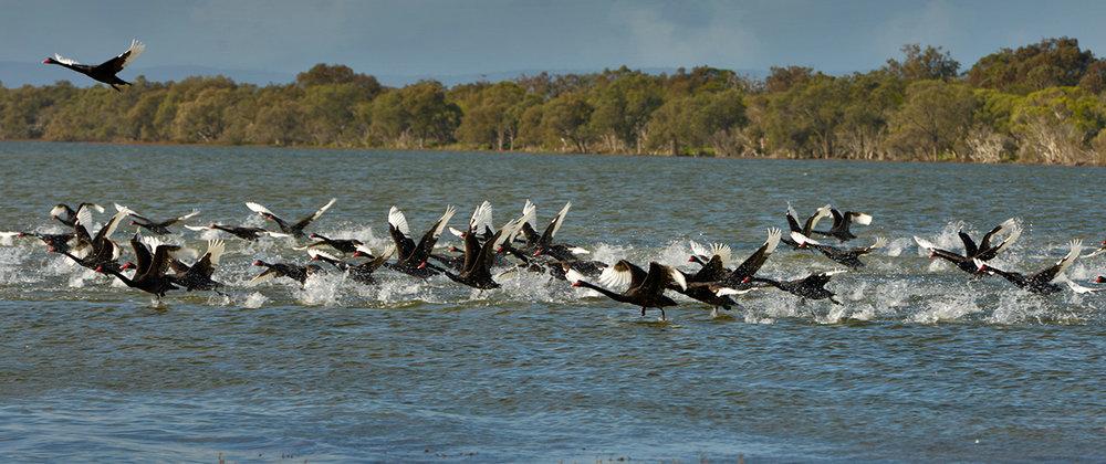 swans_fleet_a.jpg