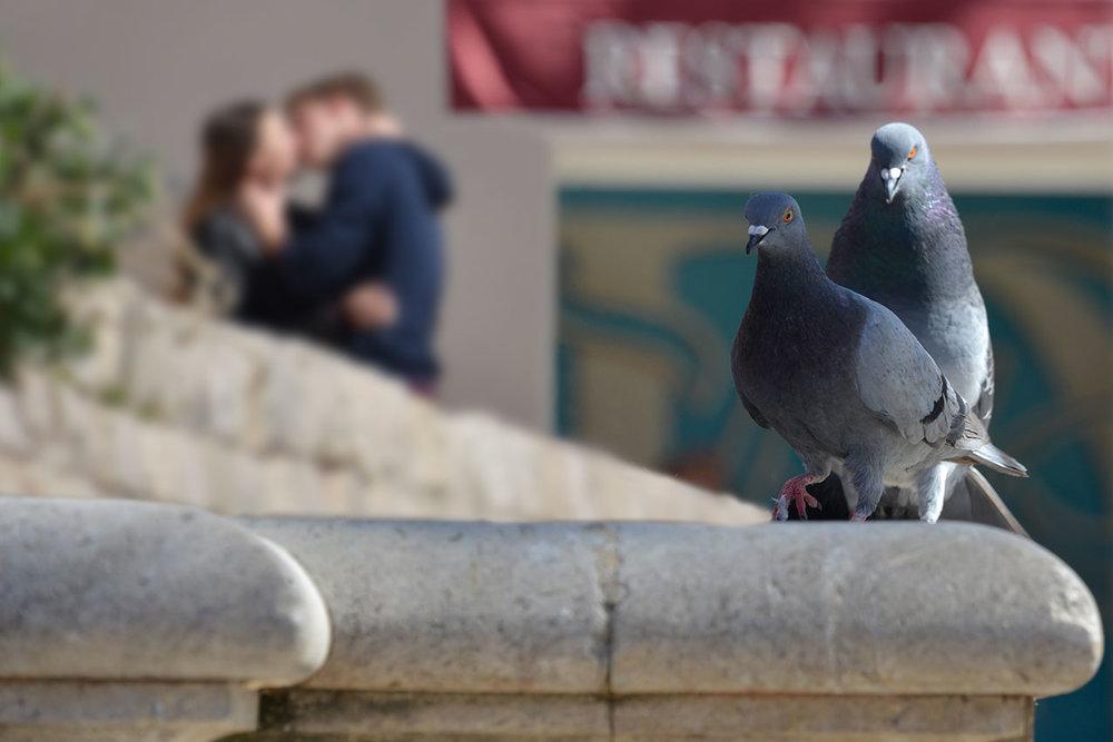 pigeon_love_paralells.jpg