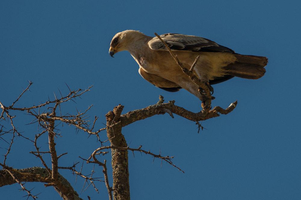 eagle_tree.jpg