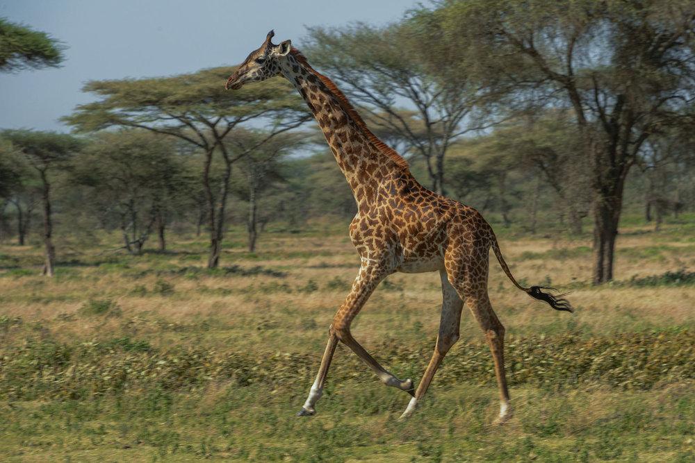 giraffe_running.jpg