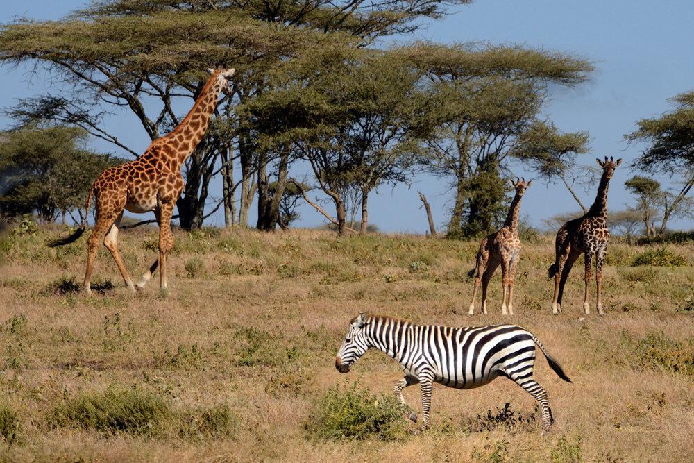 giraffes_zebra.jpg