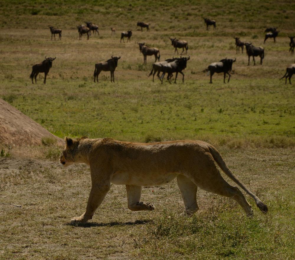 lioness_wildebees_b.jpg