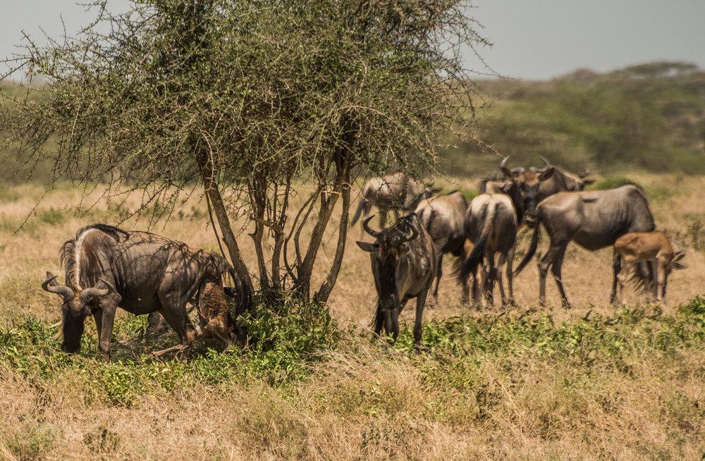 Wildebeest giving birth, a