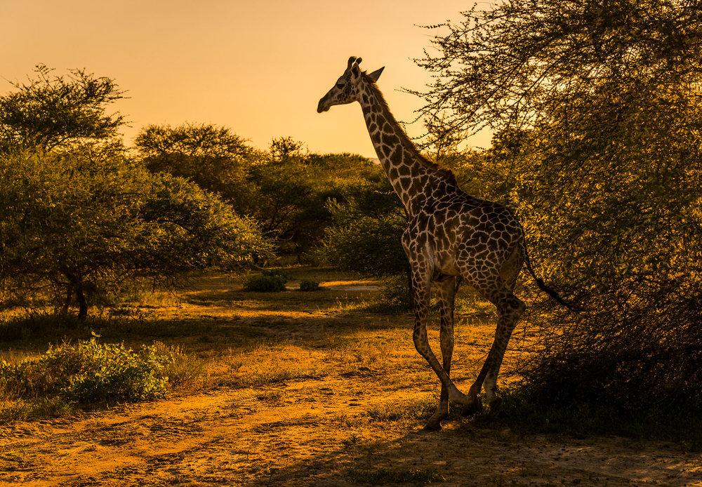 Giraffe, Lake Manze
