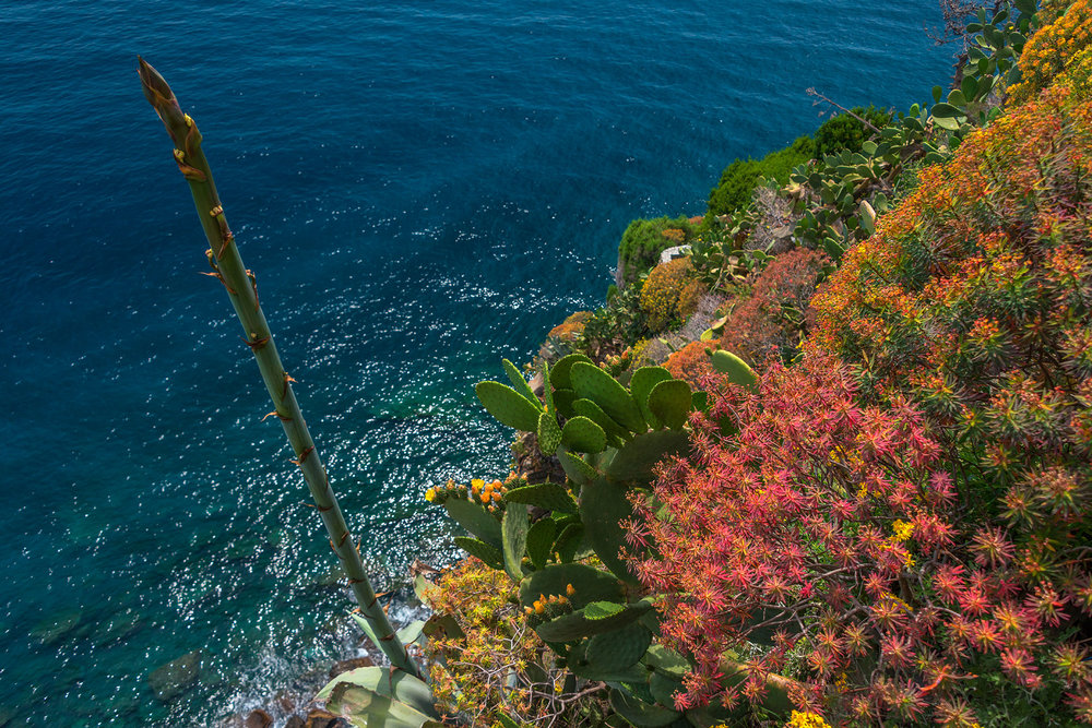 Typical coastal flora at Corniglia