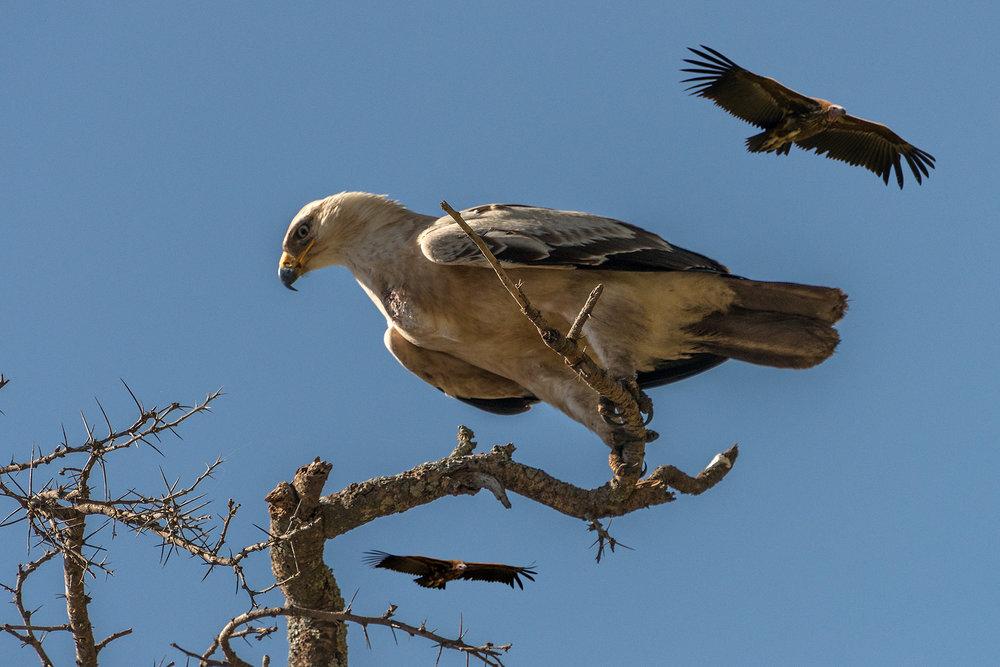 eagle_vultures.jpg