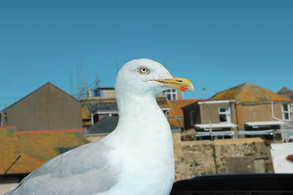 Seagull, St Ives, Cornwall.