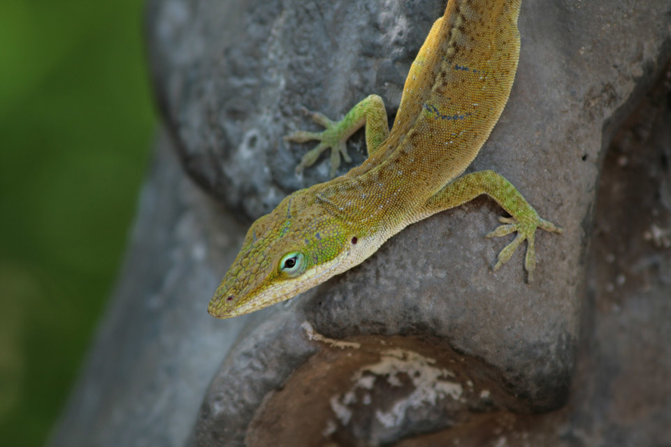 A lizard on a statue, Maui, Hawaii.