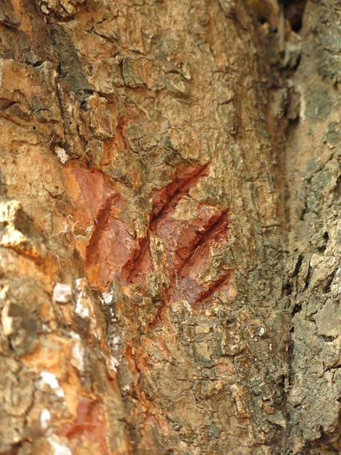 Primal-Pathways-South-Luangwa-Walking-Safari-Claw-Marks.jpg