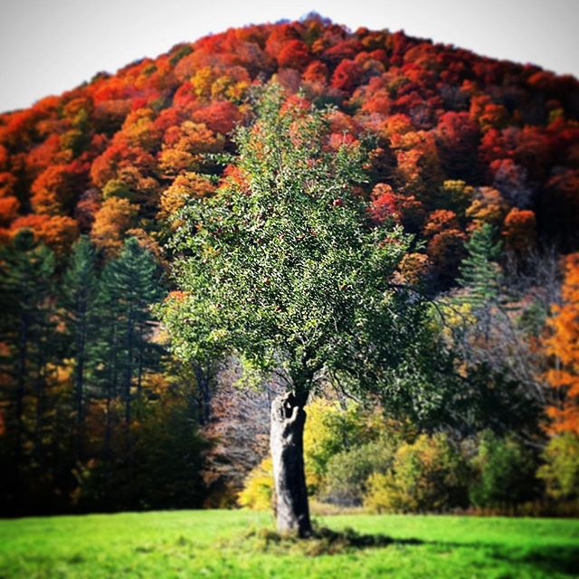 Apple tree, Vermont. #foliage #vermont #vermontlife #stokedlife #fall