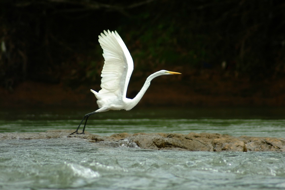 Queen egret in flight.JPG