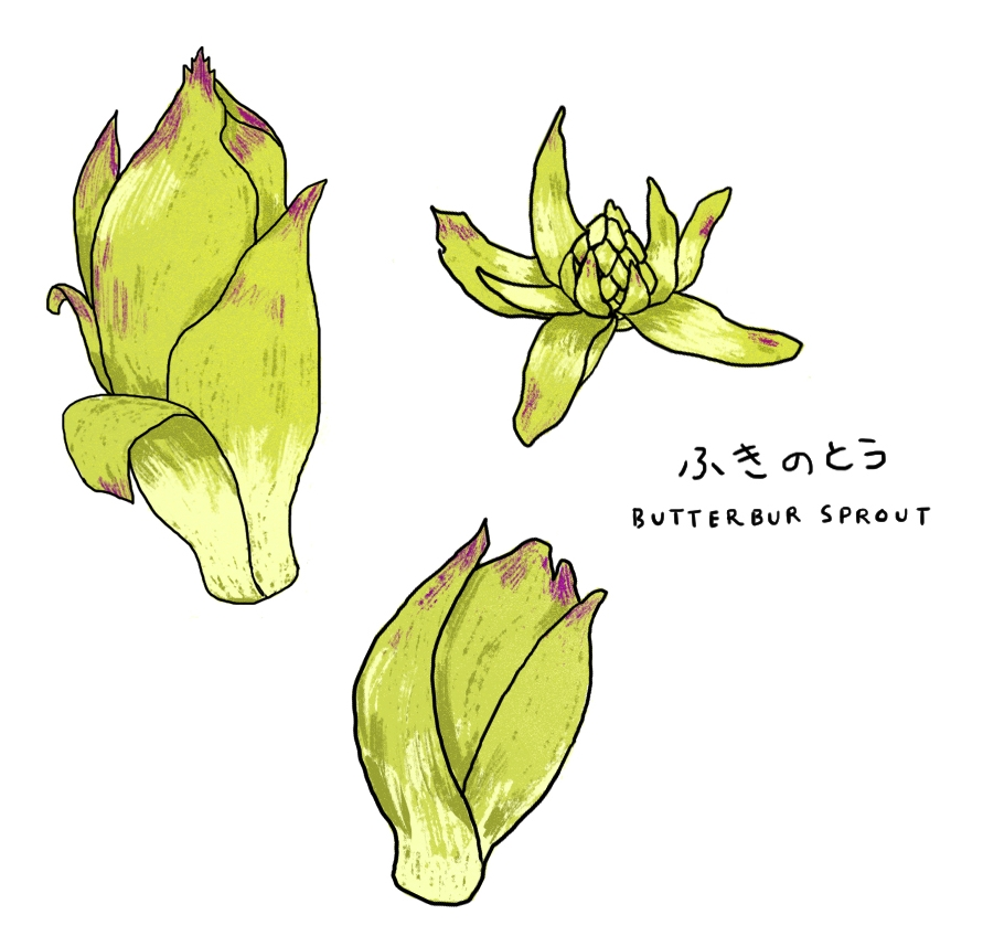 Justine-Wong-Illustration-Fukinoto-butterbur-sprout-foraging.jpg