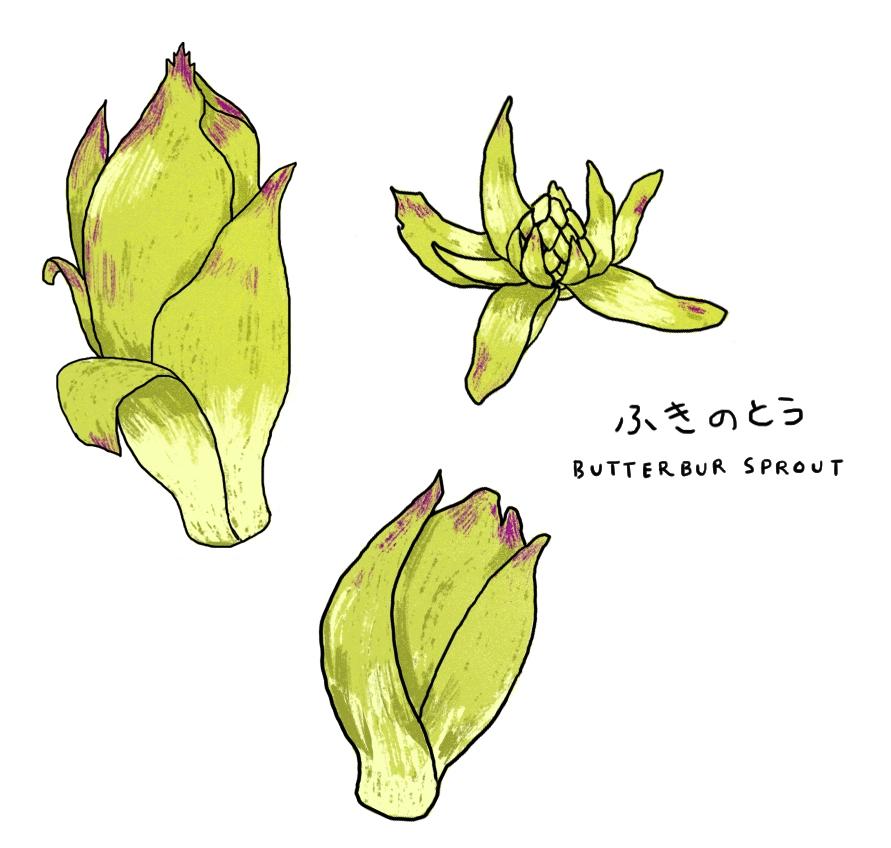Justine-Wong-Illustration-Fukinoto-butterbur-sprout-foraging.jpg