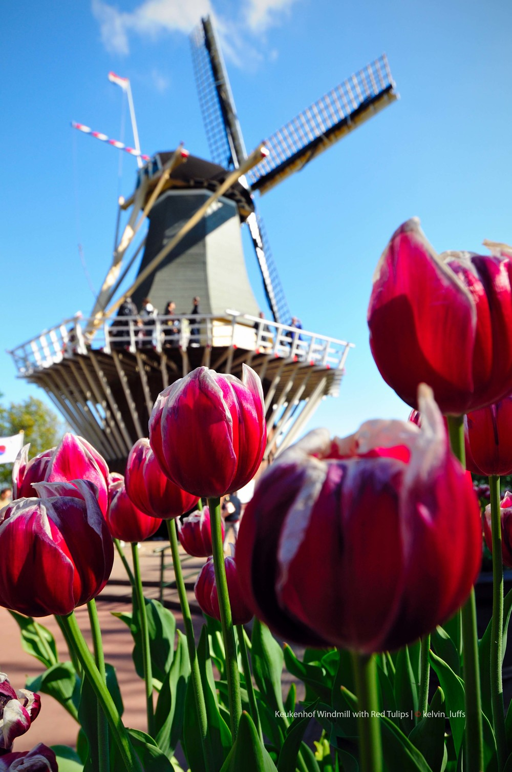Keukenhof Windmill with Red Tulips.jpg