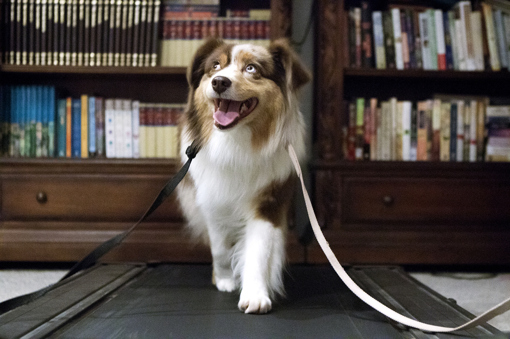Kiara, a 4-year-old Miniature American Shepherd, exercises on a treadmill on February 4 in the basement of owner Jerisha Ganske's home on Highway 50. Ganske and Kiara are preparing to go to New York City this week to compete in the Westminster Kennel Club Dog Show.