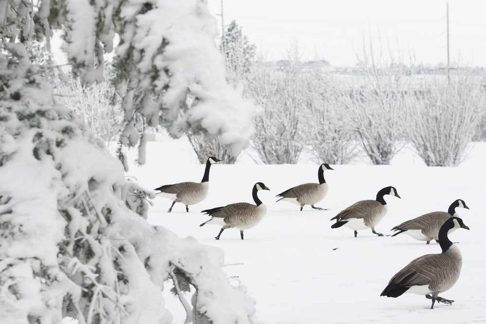 Canada geese walk across the blanket of snow at Bicentennial Park Wednesday afternoon. According to the National Weather Service rain Thursday night is expected to turn to snow around midnight, continuing into Friday morning.