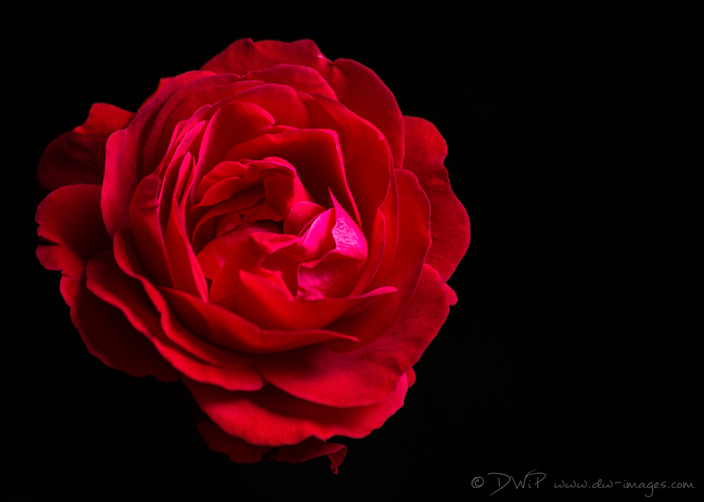 Red Rose-DW-Images-Photography-product-headshot-commercial-studio-Milton-Keynes.jpg