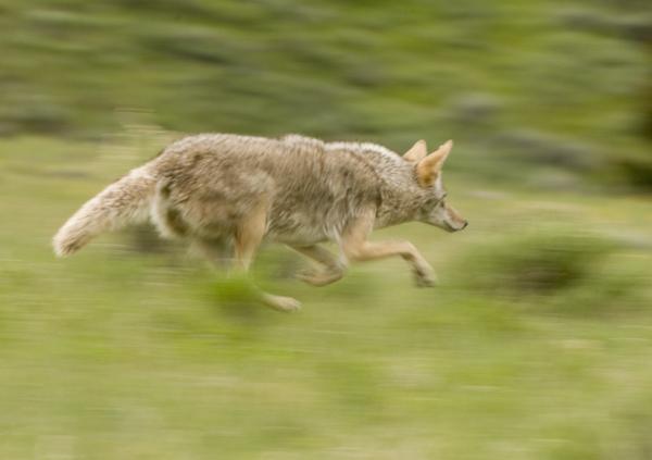 coyoterun.jpg