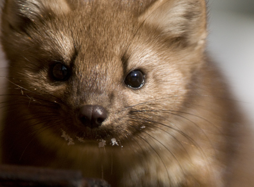 pinemarten1.jpg