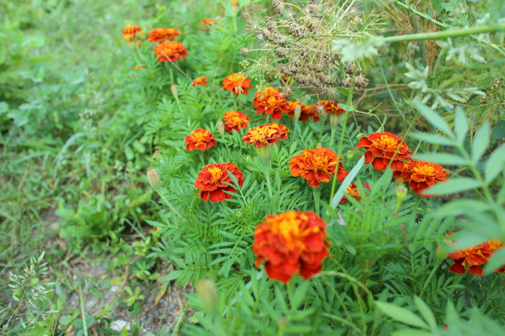 Marigolds and dill seed
