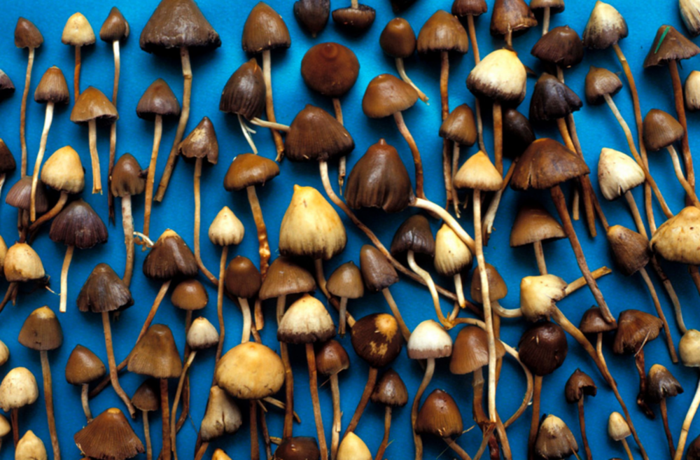 Psychedelic Psilocybin Mushrooms