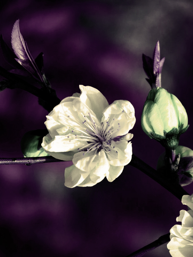 BLOSSOM LOVE. IMAGE BY VK-RED DUVIVER.