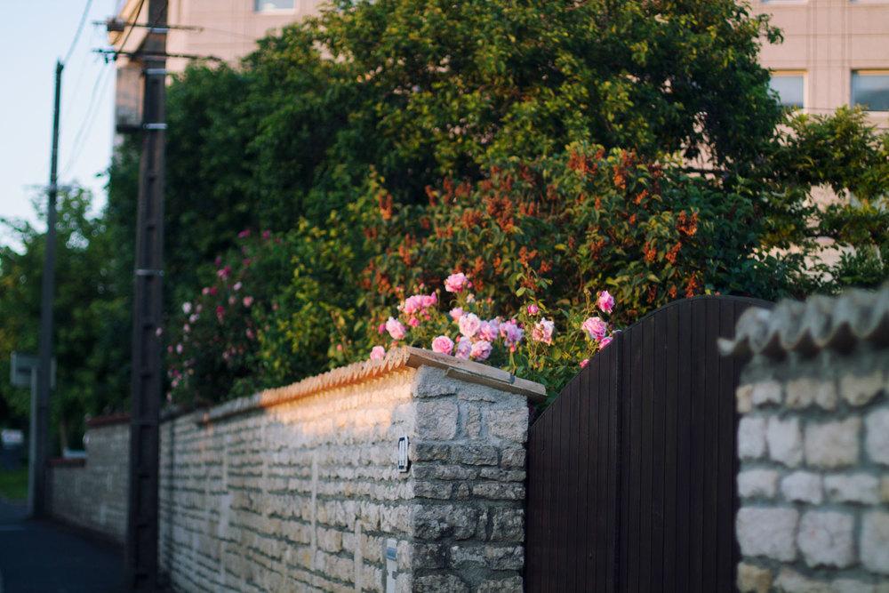 roses-france.jpg