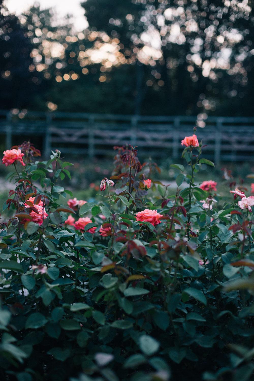 columbus-park-of-roses.jpg