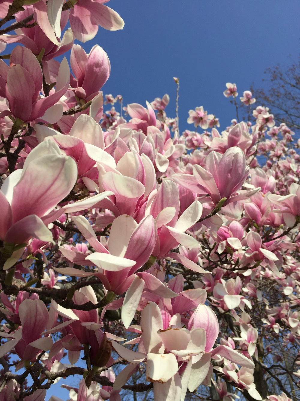 My magnolia tree April 2015