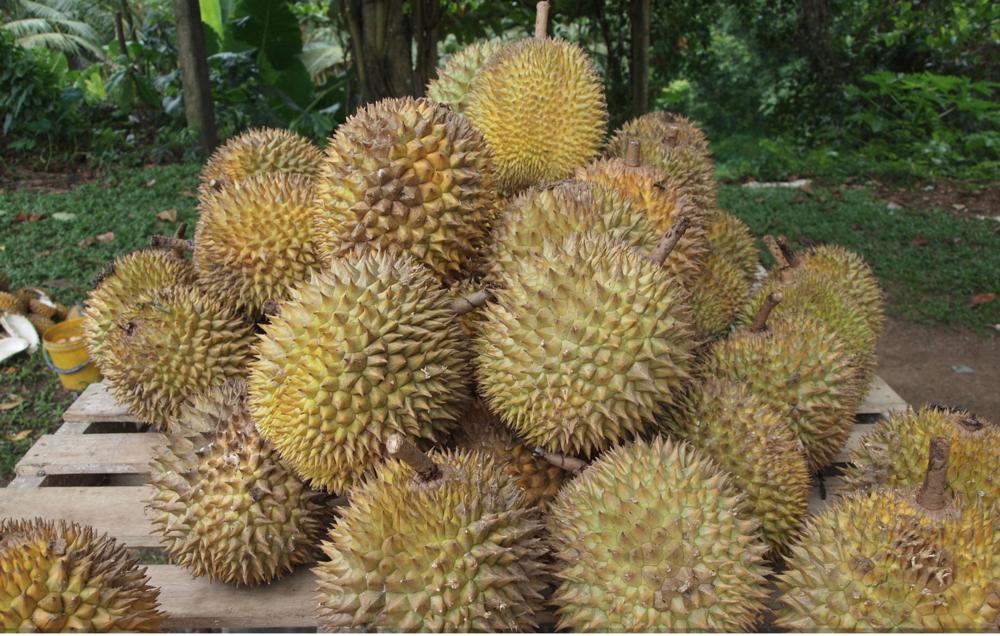 Actual durians. Photo:  Kalaiarasasy/Wikipedia  under Creative Commons  CC BY-SA 3.0
