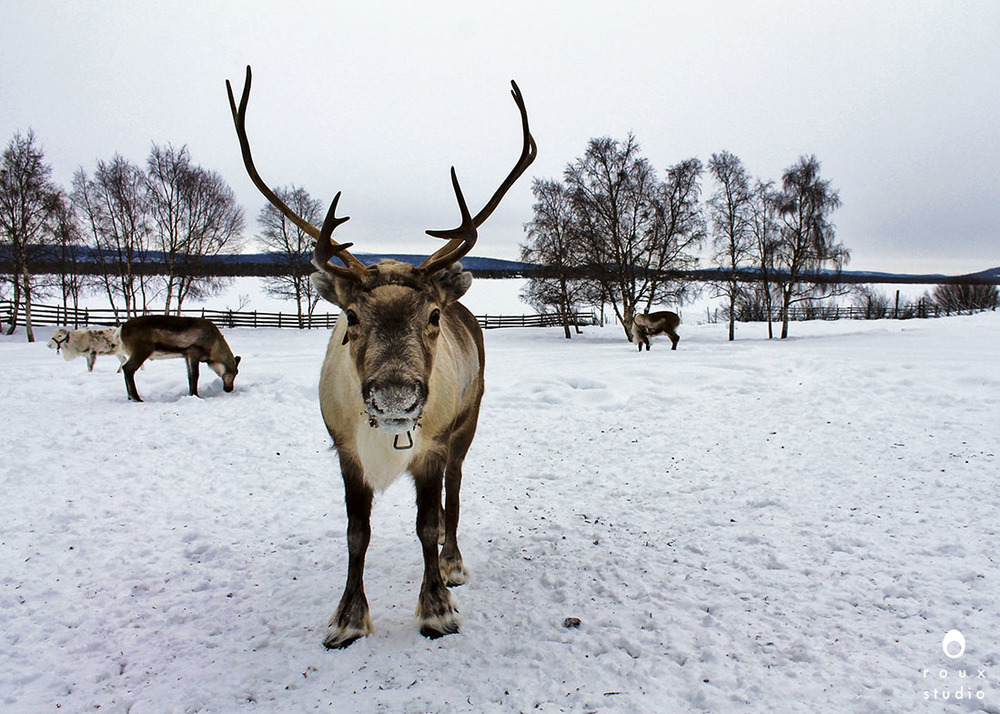 reindeer  nutti sámi siida, sweden | march 2013