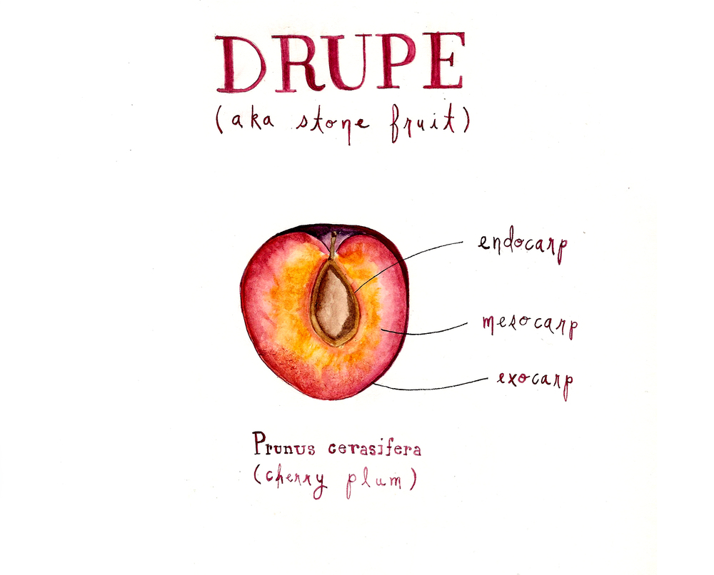 drupe | roux studio